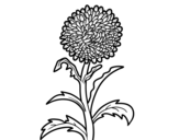 Aster coloring page