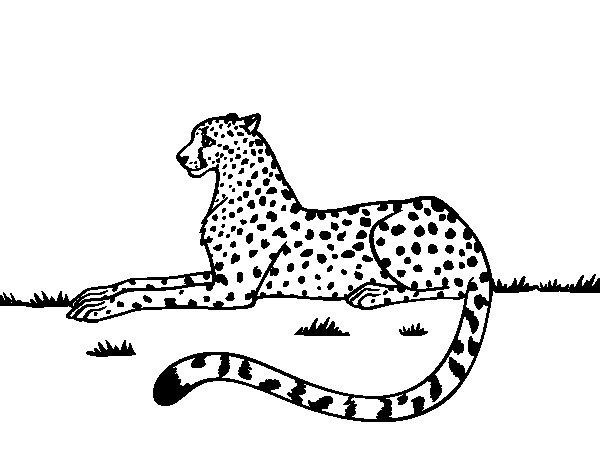 Cheetah resting coloring page