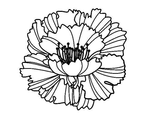 Clove pink coloring page