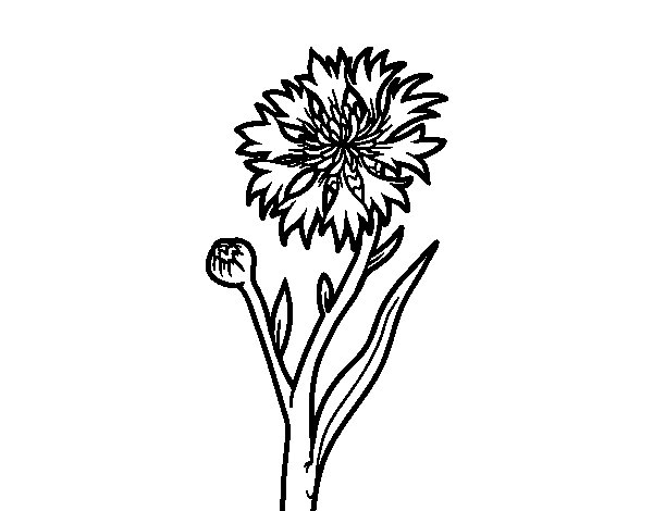 Cornflower coloring page