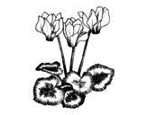 Cyclamen coloring page