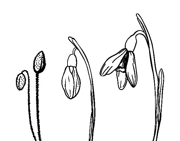 Edelveiss flower coloring page