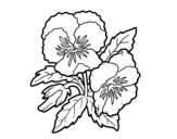 Heartsease flowers coloring page