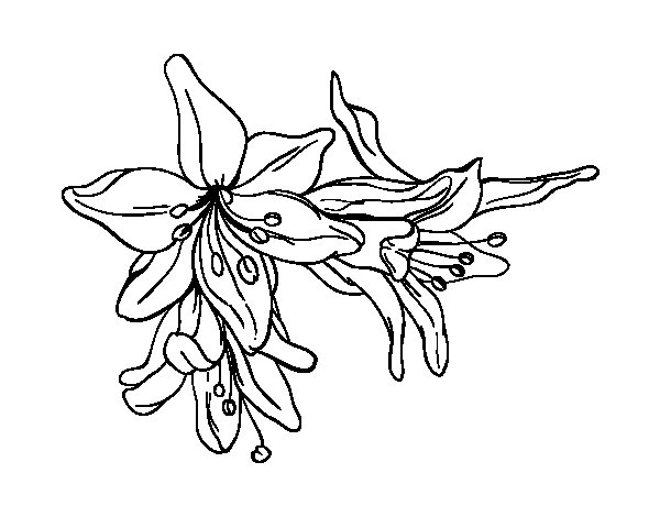 Lilium flowers coloring page