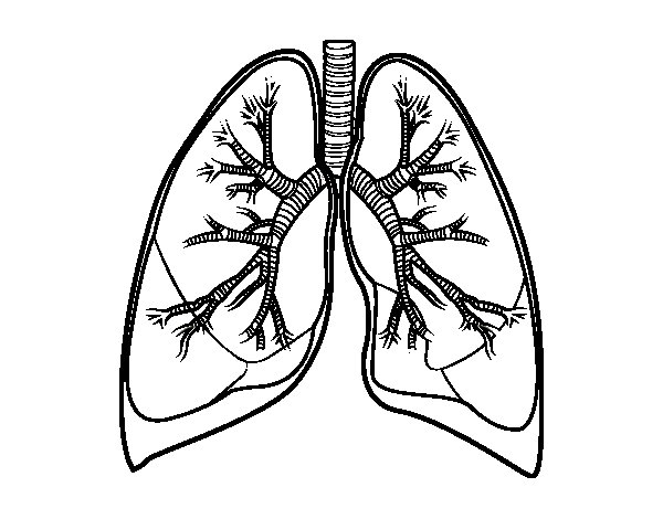 Lungs and bronchi coloring page