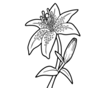 Madonna lily coloring page