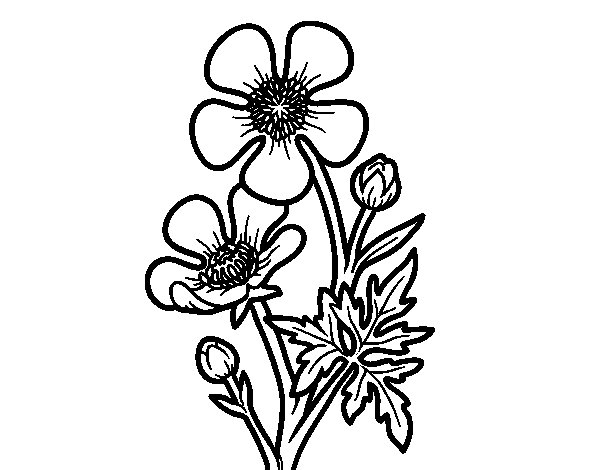 Meadow buttercup flower coloring page