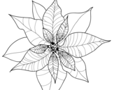 Dibujo de Poinsettia flower