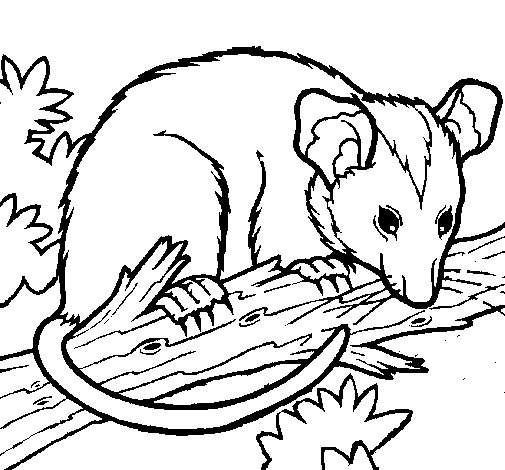 possum possums crafts coloring pages - photo#21