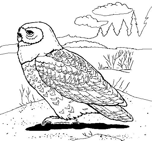 Snowy owl coloring page Coloringcrewcom