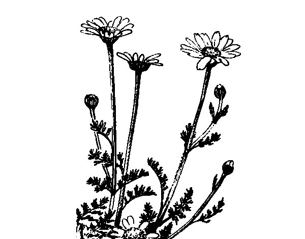 Some daisies coloring page