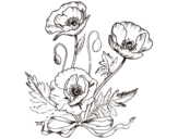 Wild poppies coloring page