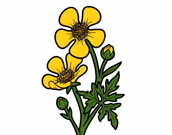 Colored page meadow buttercup flower painted by user not for Buttercup flower coloring pages