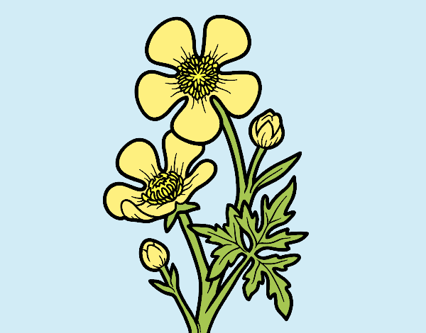 Colored page meadow buttercup flower painted by lorna for Buttercup flower coloring pages