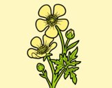 Coloring page Meadow buttercup flower painted bylorna
