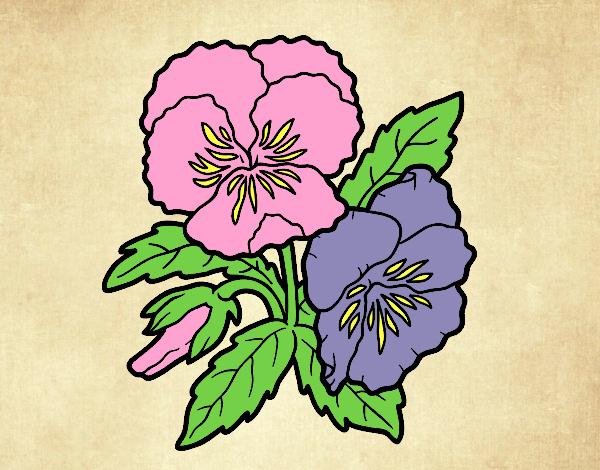 Heartsease flowers