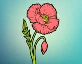 Coloring page Wild Poppy painted bylorna