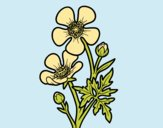 Coloring page Meadow buttercup flower painted byLornaAnia