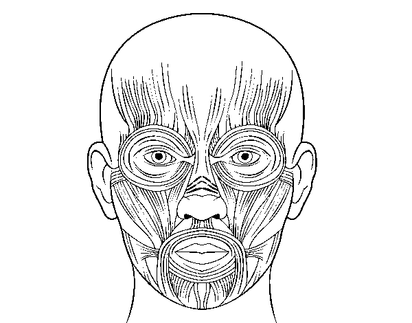 Facial muscles coloring page