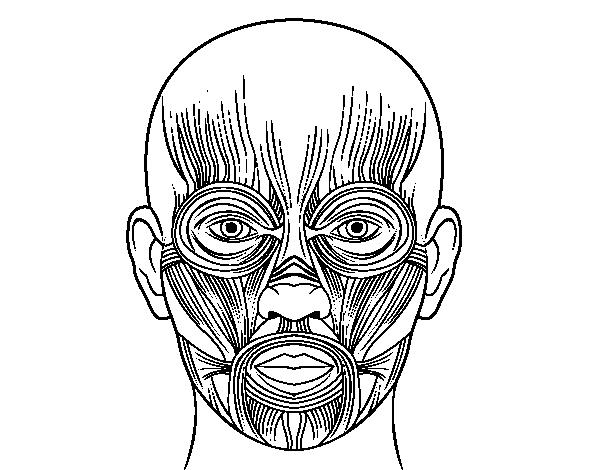 Facial muscles coloring page - Coloringcrew.com