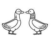 Female duck and male duck coloring page