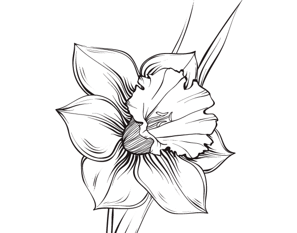 Narcissus Flower Coloring Page